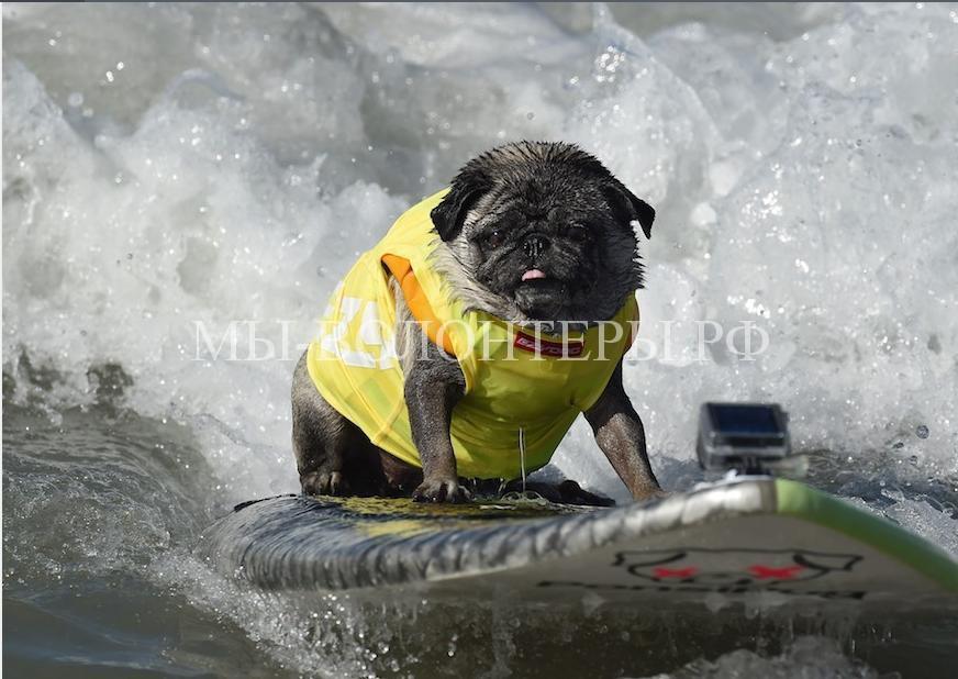 собаки покорившие волны10