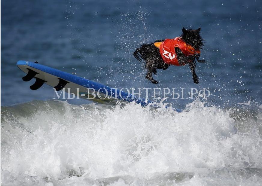 собаки покорившие волны13