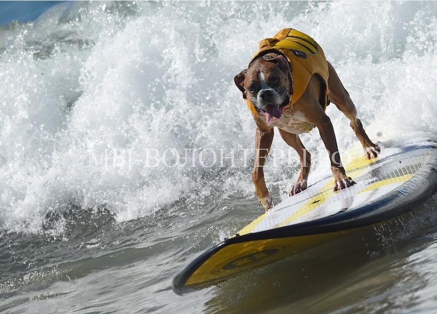 собаки покорившие волны4