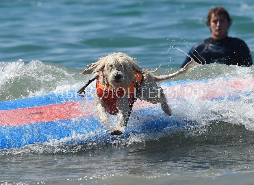собаки покорившие волны5