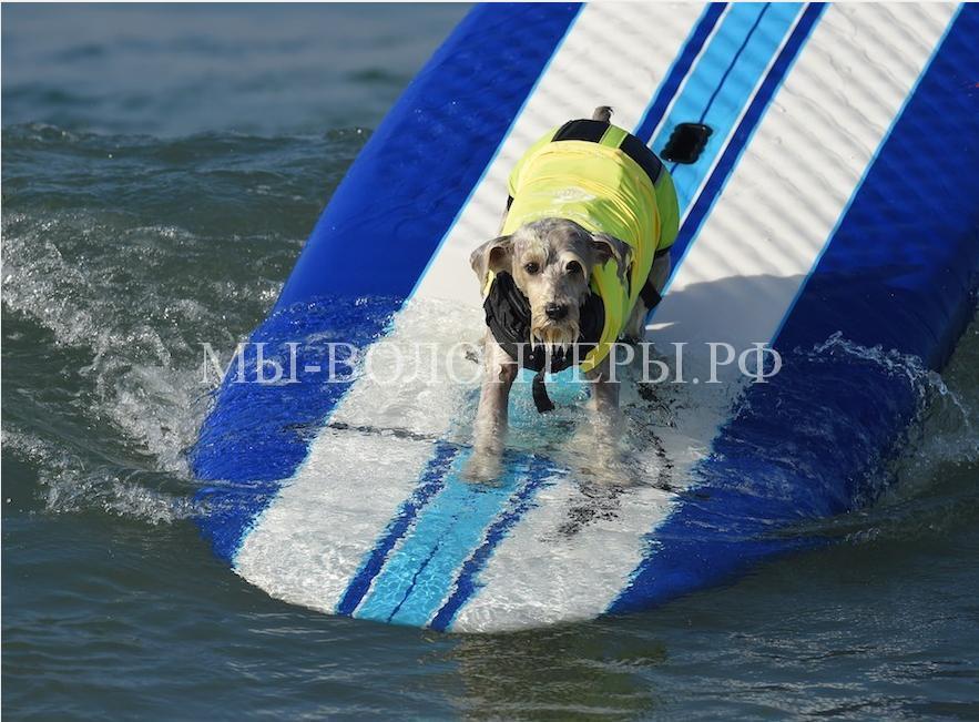 собаки покорившие волны7