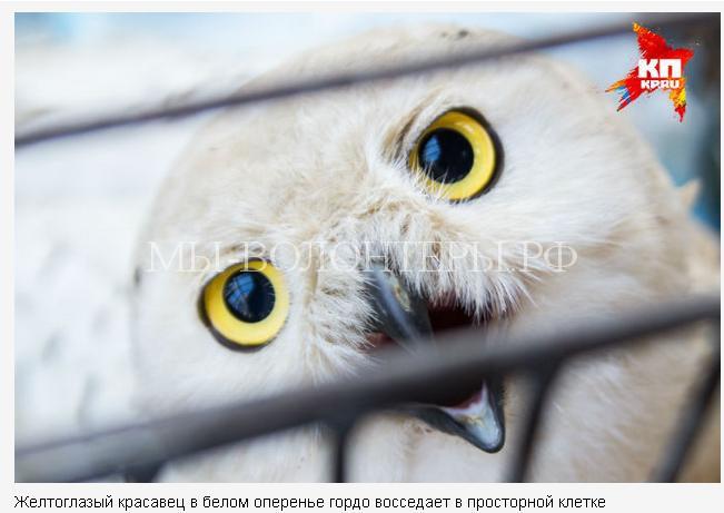 спасение полярной совы3