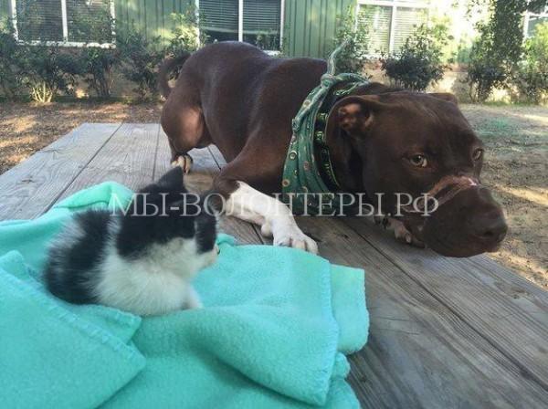 Обиженный судьбой питбуль помогает бездомным животным