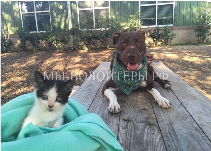 Питбуль помогает бездомным животным2
