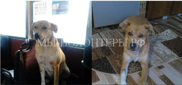 В Красноярске потерявшаяся собака весь день ездила в автобусе в поисках хозяина