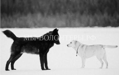 История дружелюбного волка Ромео
