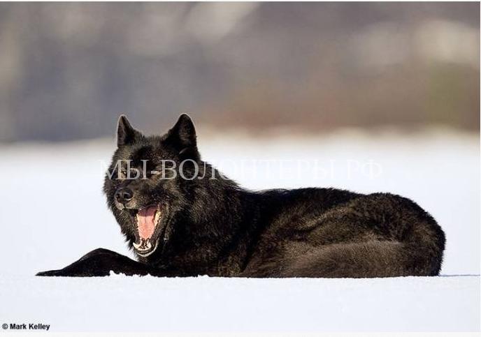 дружелюбный волк Ромео2