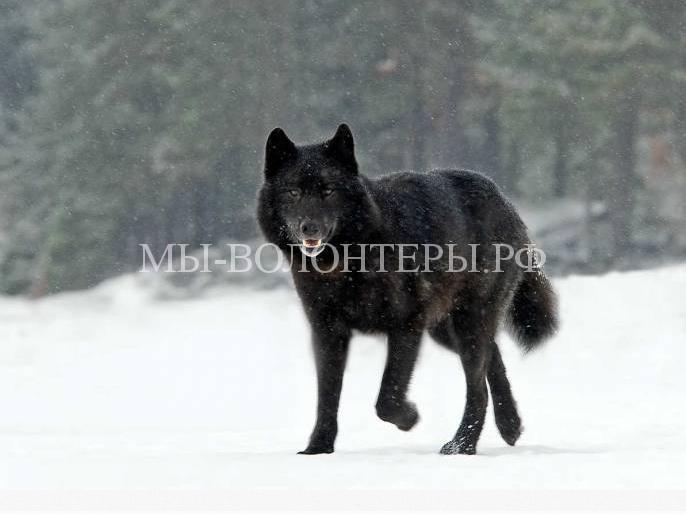 дружелюбный волк Ромео3