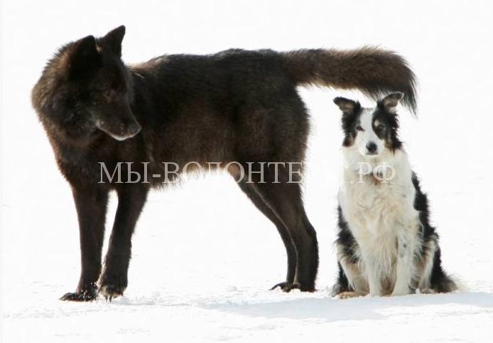 дружелюбный волк Ромео4