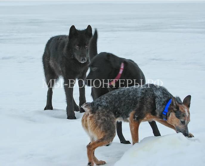 дружелюбный волк Ромео6