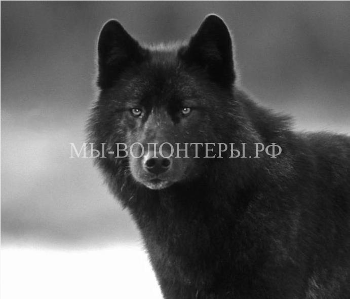 дружелюбный волк Ромео8