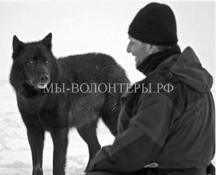 дружелюбный волк Ромео9