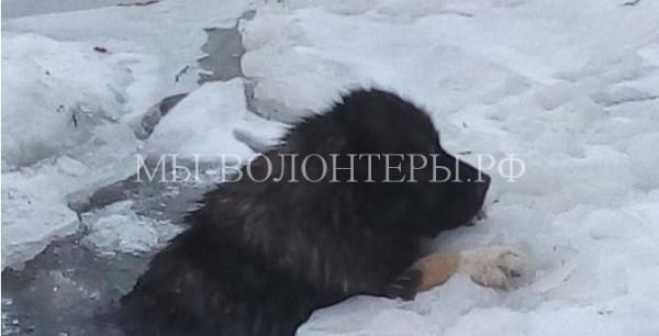 Пропавшую кавказскую овчарку вытащили из проруби и вернули хозяевам