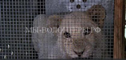 В Ярославском зоопарке мама-львица заплакала, прощаясь со своими детьми