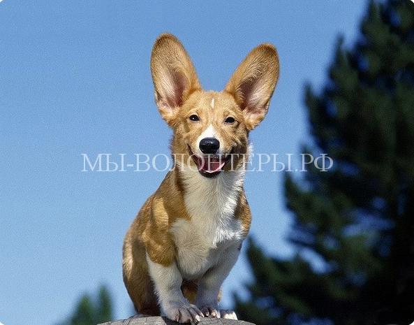 Как собака слышит