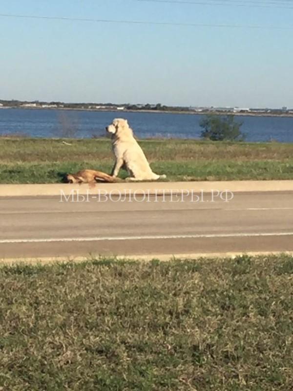 Ещё раз о собачьей преданности: пёс, который отказался покидать умирающего друга