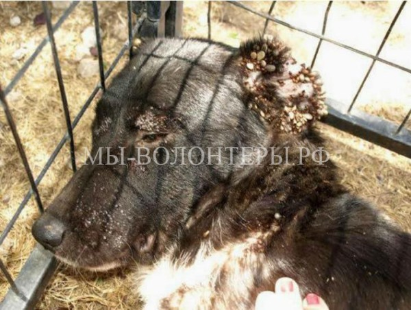 Когда нашли эту собаку, ее состояние было ужасным, но ей помогли добрые люди!