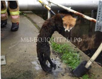 Спасение лисицы из сточной канавы