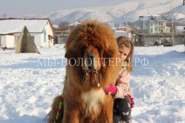Тибетский мастиф — снежные львы из Тибета