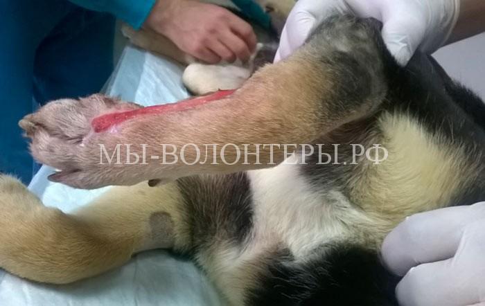 2-травма-собаки-боб-приют-щербинка-11