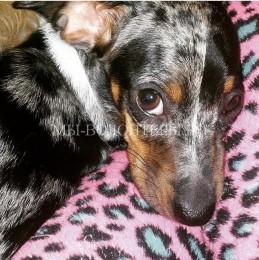 Пузырек родилась без передних лап,спустя год она делает все так же хорошо, как и любая другая собака