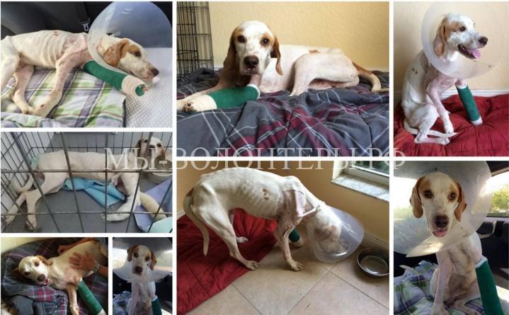 Спасение собаки со сломанными лапами2