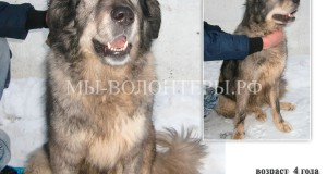 Джесси, кавказская овчарка бывшая домашняя, 4 года - срочно ищет хозяина !