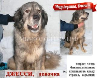 Джесси, кавказская овчарка бывшая домашняя, 4 года — срочно ищет хозяина !