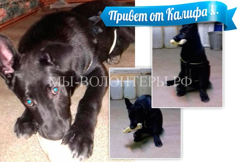 Красавец щенок Калиф передает привет из нового дома !