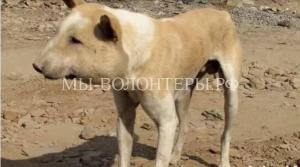 В Индии прооперировали бродячую собаку с обширным абсцессом