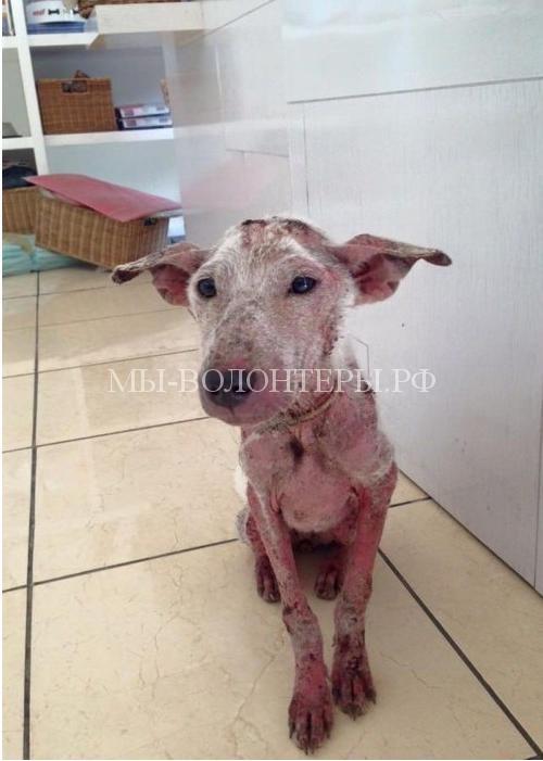 Спасение Келси-собака была вся в язвах1