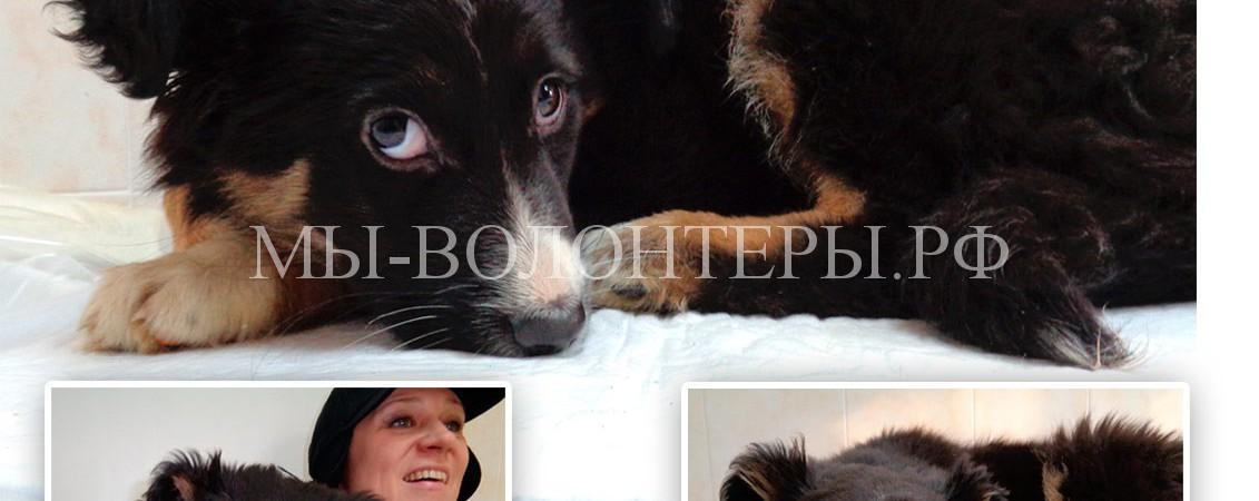 Щенок-девочка 2 месяца ищет хозяина, очень похожа на «бернского зенненхунда»