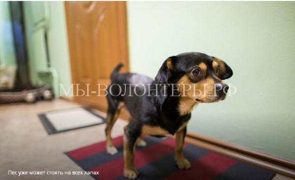 Собака два года ждала погибшего хозяина на улице. Судьба приготовила для метиса таксы по кличке Адик тяжелые испытания