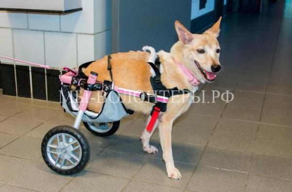 Скутер — собака без задних лап, но с огромной волей к жизни