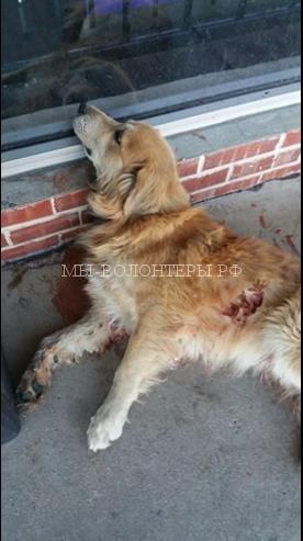 Спасение собаки, сбитой машиной15