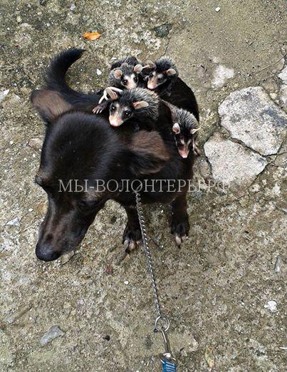 собака заменила опоссумам мать8