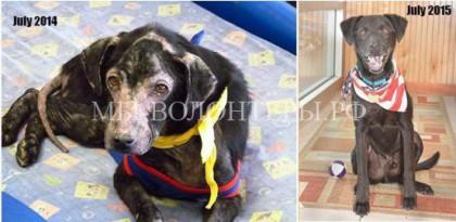 Спасение и лечение собаки с аутоиммунным дефицитом