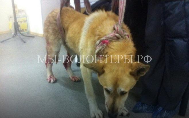 Бездомные дворняги помогли выжить собаке, раненной живодером