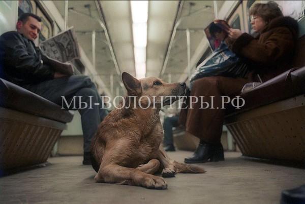 Как бездомные собаки ориентируются в метро