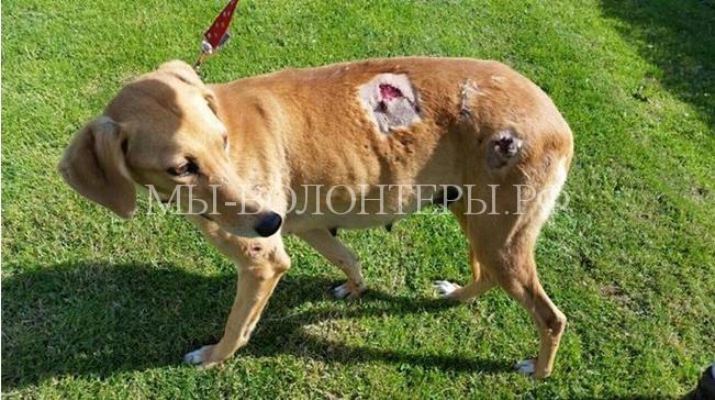 Борзая с ножевыми ранениями выжила из последних сил2