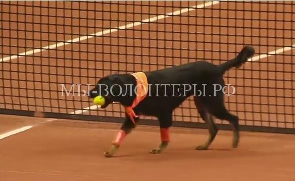 Собаки, оставшиеся без хозяев, участвовали в теннисном турнире, чтобы показать себя