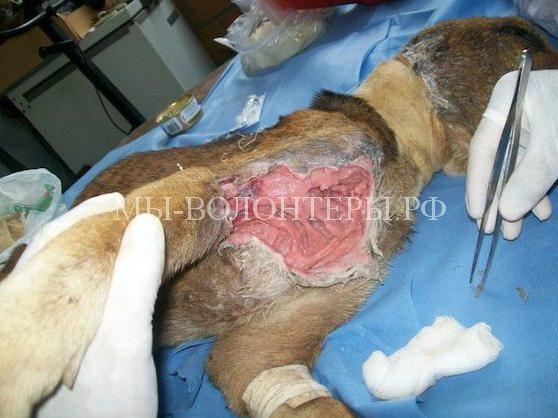 Спасение собаки с ранами и язвами11