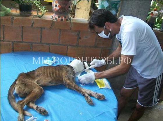 Спасение собаки с ранами и язвами4