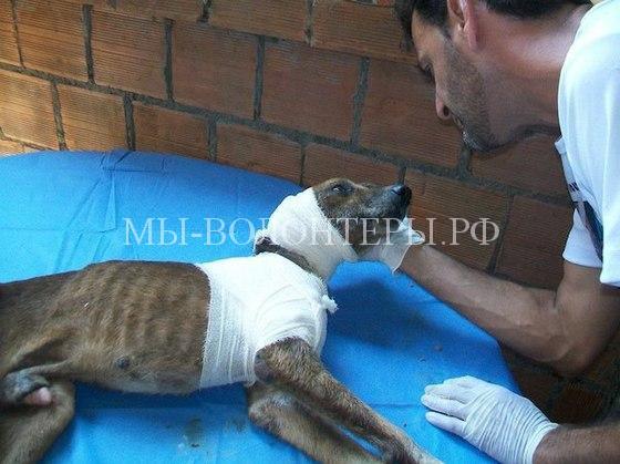 Спасение собаки с ранами и язвами6