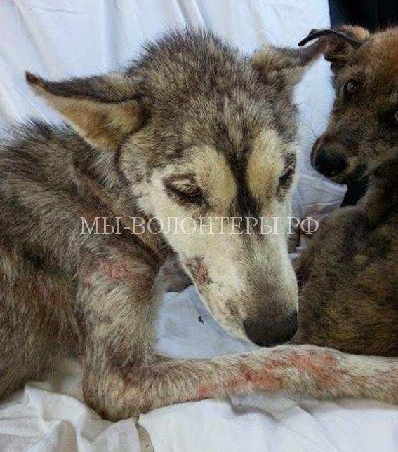 История спасения хаски и ее щенка, выброшенных у дороги