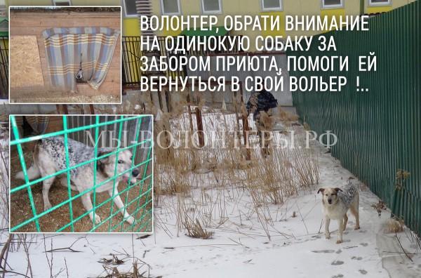 Волонтеры,  это Белка — не проходите мимо одиноко бегающих собак за воротами приюта !