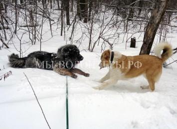 Приют Щербинка, совместные прогулки для адаптации собак — Буран, Афина и Мурзилыч