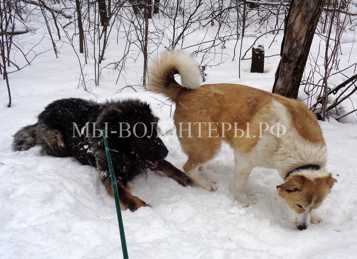 кавказец-буран-афина-дружба-сложной-собаки