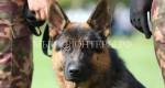 Российские кинологи осудили бельгийских полицейских за неэтичное отношение к служебным собакам