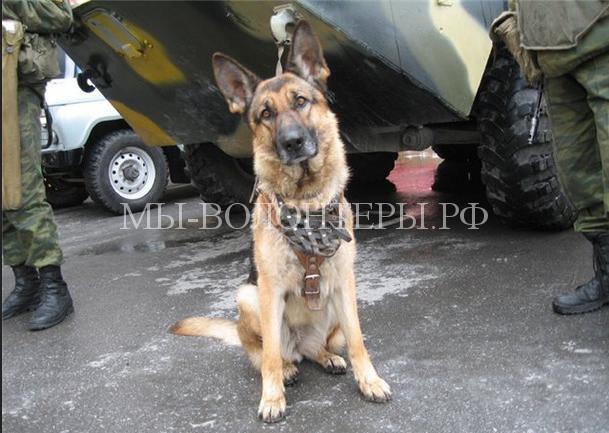служебные собаки1